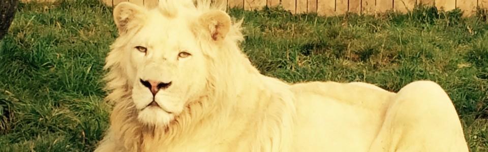 Porzucony lew Parys znalazł przyszywaną matkę.